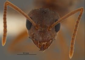 Nylanderia-fulva-crazy-ants