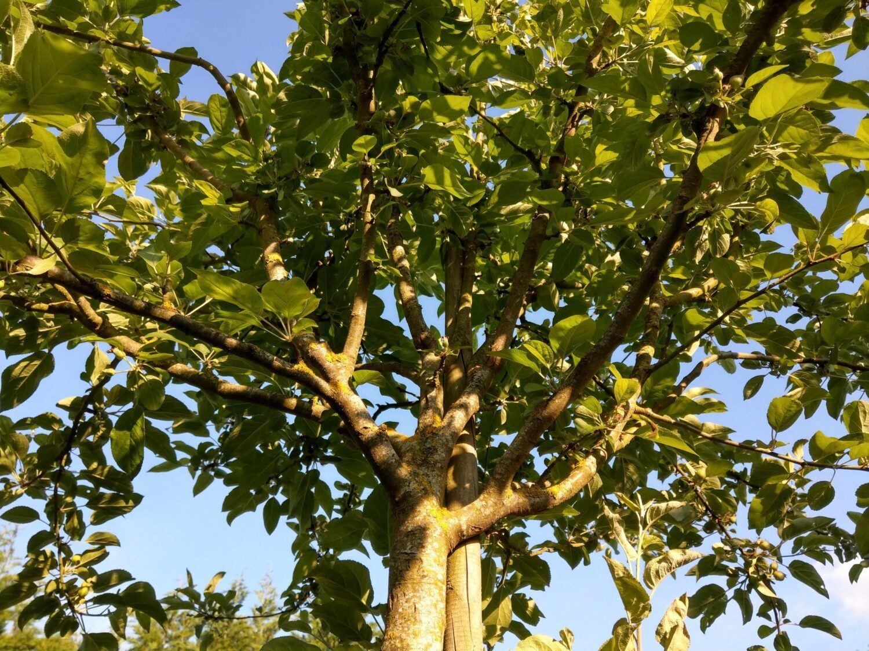 Un pommier Banana Winter entre ombre et lumière