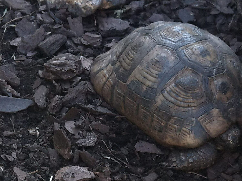 Une tortue terrestre dans l'ombre